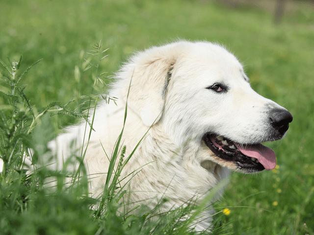 Pyrenejský horský pes - Patou
