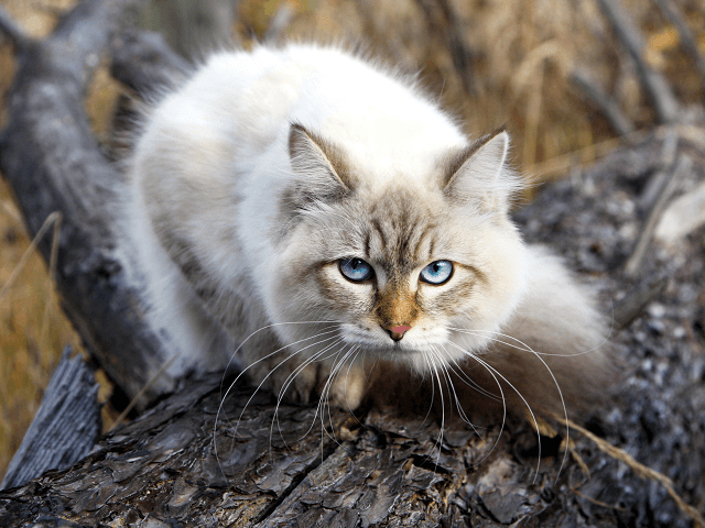 Sibírska mačka na jeseň