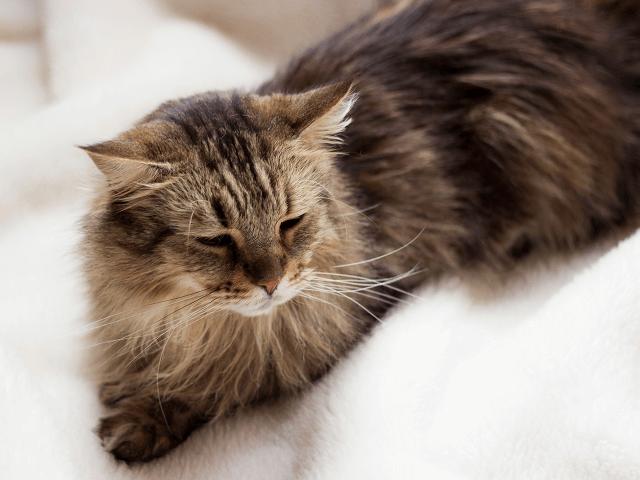 Mainská mývalia mačka
