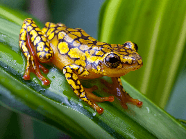 Žltá žaba z čeľade pralesničkovitých