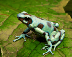 Žaba z čeľade pralesničkovité