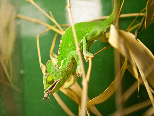 Chameleón jemenský - lat. Chamaeleo calyptratus