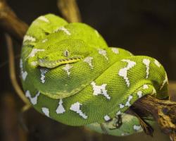 Psohlavec zelený, lat. corallus caninus